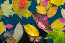 Colorful Autumn Leaves On Blue Water Surface. Maple Leaves On A Blue Background As An Autumn Concept.