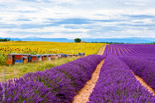 Blossoming lavender and sunflower fields in Provence, France.