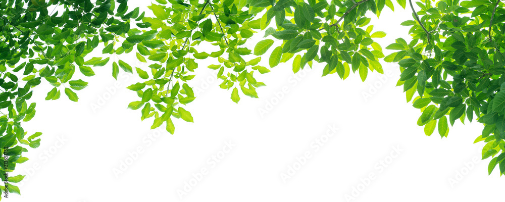 Fototapety, obrazy: panoramic Green leaves on white background