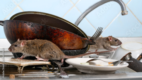 Two young rat (Rattus norvegicus) climbs on dirty dishes in the kitchen sink. two old pans and crockery. small DoF focus put only to one rat