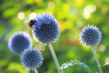 Bumblebee Pollinating Blue Spherical Flower Head Of Echinops Commonly Known As Globe Thistles.