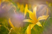 A Soft Image Of A Daylily With Purple Out Of Focus Flowers In Front.