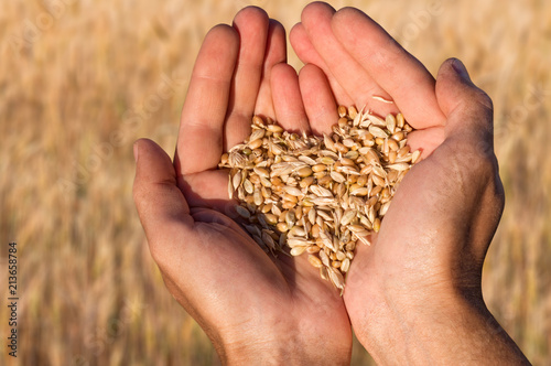 Fototapeta Ripe wheat bean seed in farmer hands. obraz