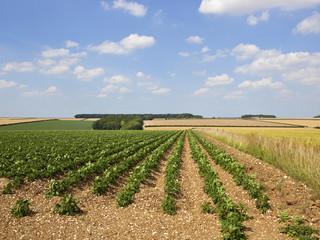 Fototapeta na wymiar upland potato crop