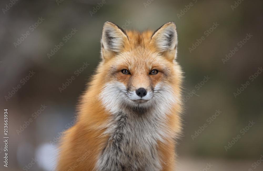 Fototapety, obrazy: Red fox, Canada