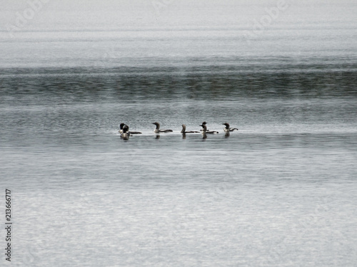 Fotografia, Obraz  Seetaucher auf einem See in Finnland
