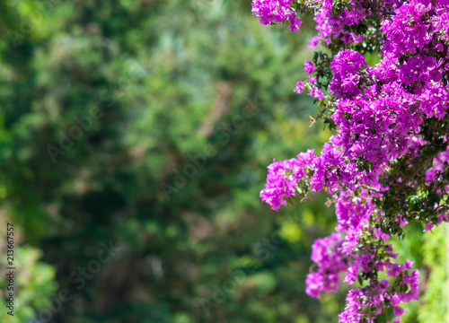 Carta da parati Pink boungavillea flowers with copy space