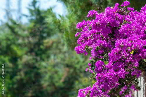 Stampa su Tela Pink boungavillea flowers with copy space