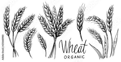 Wheat ears. Vector illustration Fototapet