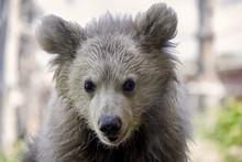 Himalayan Brown Bear Cub. Ursus Arctos Isabellinus.