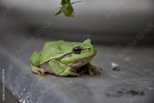 Tuinposter Kikker European Tree Frog. Hyla arborea, Rana arborea. Czech Republic.