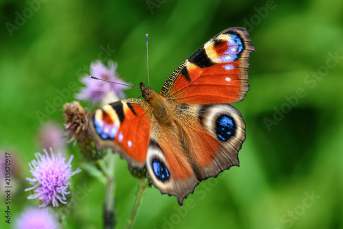 Photo sur Aluminium Paon butterfly peacock eye close-up