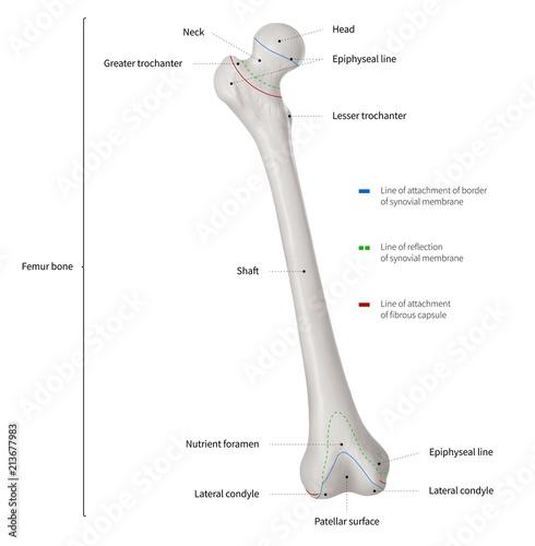 infographic diagram of human femur bone or leg bone anatomy system anterior  view- 3d- human anatomy- medical diagram- educational and human body  concept-