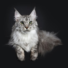 Majestic Silver Tabby Young Adult Maine Coon Cat Laying Down With  Tail Hanging Obeside Body And Pws Hanging Over Edge, Looking Straight At Lens Isolated On Black Background