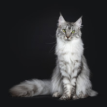Majestic Silver Tabby Young Ad...