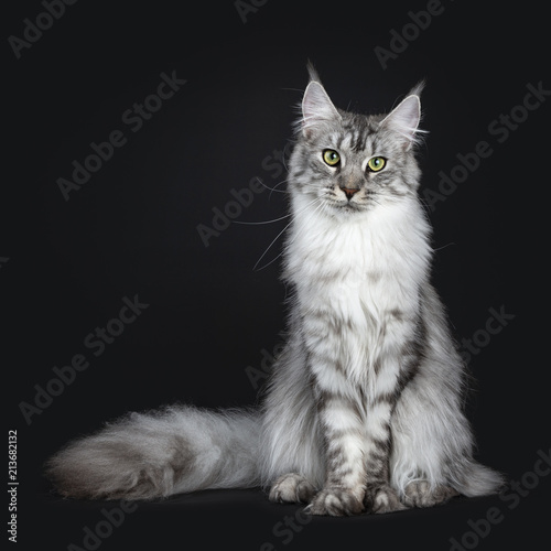 Fototapeta Majestic silver tabby young adult Maine Coon cat sitting facing front with enorm