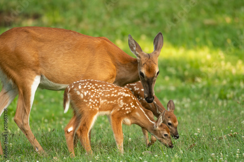 Photo Whitetail doe and two fawns
