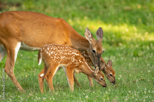Tableau sur Toile Whitetail doe and two fawns