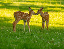 Two White-tailed Deer Fawns No...