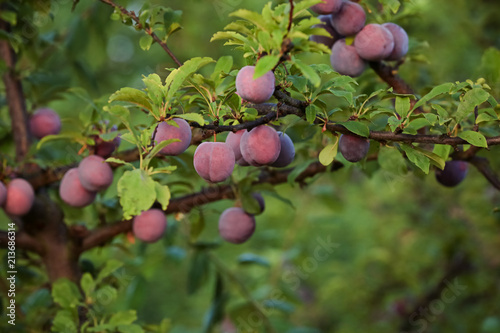 Delicious ripe plums on tree branches in garden