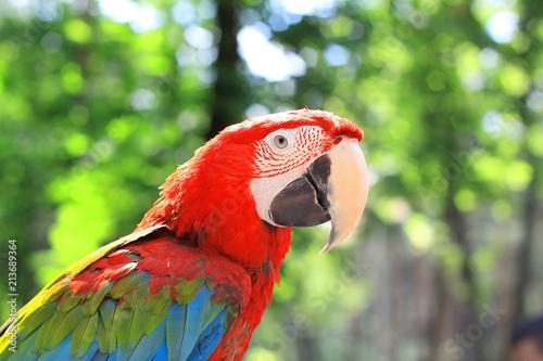 Foto op Aluminium Papegaai close up. macaw parrot on blurred background of the jungle