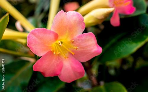 Focus on a of pink rhododendron flower (Rhododendron herzogii x aurigeranum)
