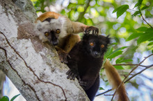 Black Lemurs From Nosy Be (Mad...
