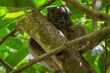 Night lemur from Lokobe Forest at Nosy Be Island (Madagascar)