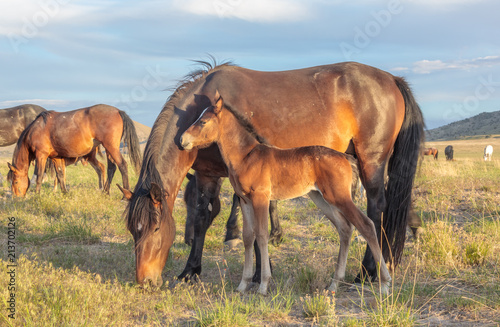 Photo  Wild Horse Mare and Foal