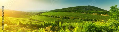 Fotografia  Vineyard in Hungary, panorama view
