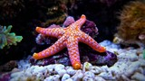 Fototapeta  - Fromia seastar in coral reef aquarium tank is one of the most amazing living decorations