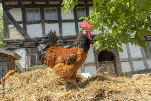 rooster on the dunghill
