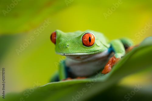 Deurstickers Kikker The cutest frog in the world. Red eyed tree frog. Amazing, lovely, smiley, funny. Native in rain forest, excellent jumper, red eye staring at predator, surprise.