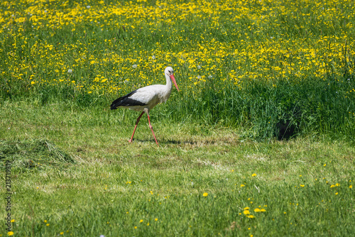 White stork on a meadow covered with yellow dandelion flowers in Poland