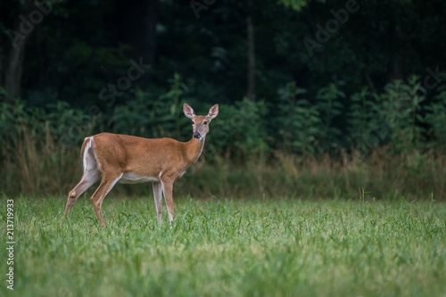 Whitetail deer doe Poster Mural XXL