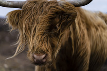 Face Of An Highland Cattle In ...