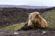 Baby Highland Cattle In Scotland