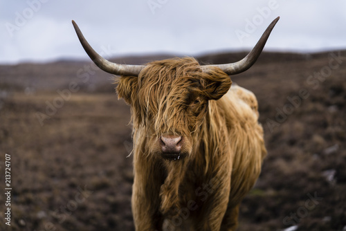 Highland cattle in Scotland Tablou Canvas