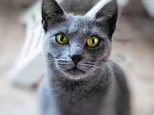 Beautiful Russian Blue Cat - C...