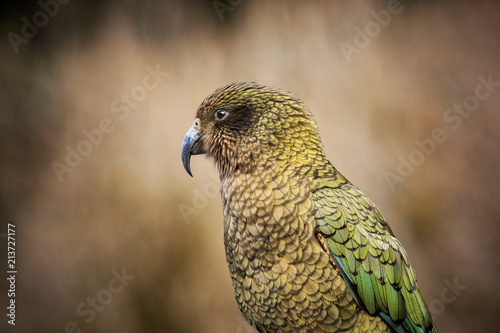 Fototapeta premium close up head and bill of kea bird ,ground parrot in new zealand