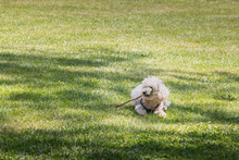 Little White Poodle Dog Playin...