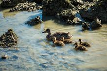 Four Ducklings Swimming By Mot...