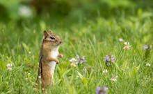 Eastern Chipmunk (Tamias Striatus) Stands In Summer Grass And Flowers