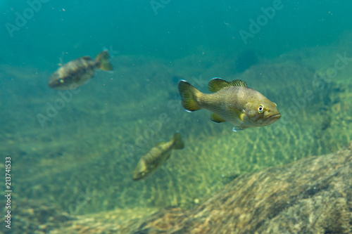 smallmouth bass underwater Fototapeta