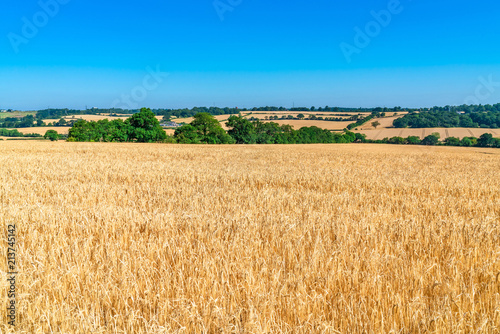 Foto op Aluminium Cultuur Wheat growing on the field, summer in Middlesex, UK.