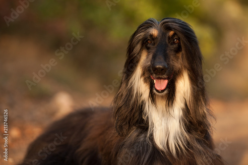 Photo stylish dog breed Afghan hound posing while lying
