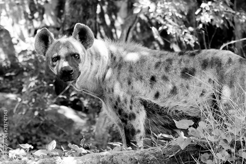 In de dag Hyena Black and white Wildlife of Hyena in the zoo at Thailand