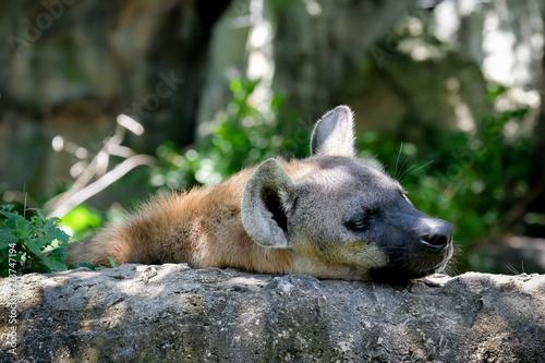 Papiers peints Hyène Wildlife of Hyena in the zoo at Thailand