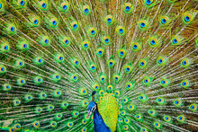 The Peacock Spreads Its Tail.