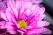 canvas print picture - lila Blüte der Chrysantheme